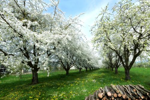 Die Ortenauer Obstbäume blühen